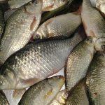 285 kg de peşte confiscat de poliţiştii de frontieră din cadrul Sectorului Poliţiei de Frontieră Chirnogi