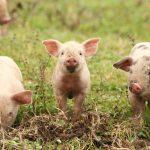 Într-o gospodărie individuală nu pot fi deţinuţi decât cel mult cinci porci, potrivit informării DSVSA Călăraşi